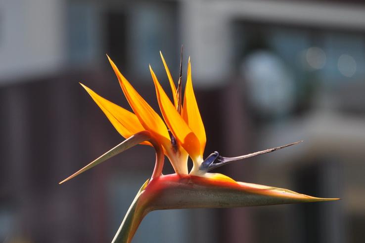 Bird-of-paradise-7